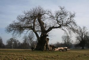 Very old tree by Singingnaturist