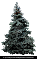 big blue spruce by margarita-morrigan