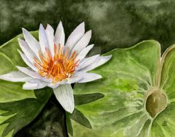 Water Lily by aragonia