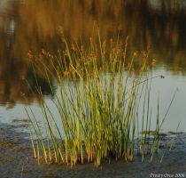 bullrushes by Frosty-Orca