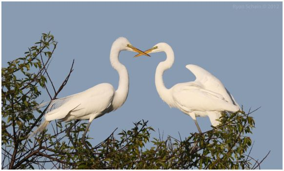 Great Egrets by Ryser915