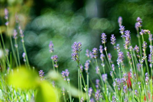 Lavender in my garden by hundefreund