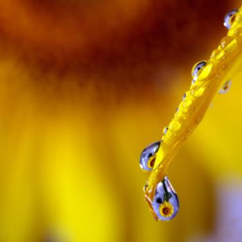 sunflower in a drop by Floriandra