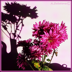 The fragrance of pink Chrysanthemums by AnnaZLove