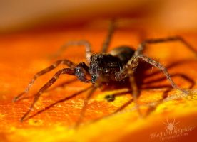 Cute Wolf Spider :3 by TheFunnySpider