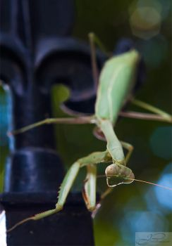 Praying Mantis II by deviouselite