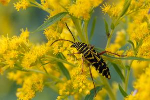 Wasp Mimic by BlackRoomPhoto