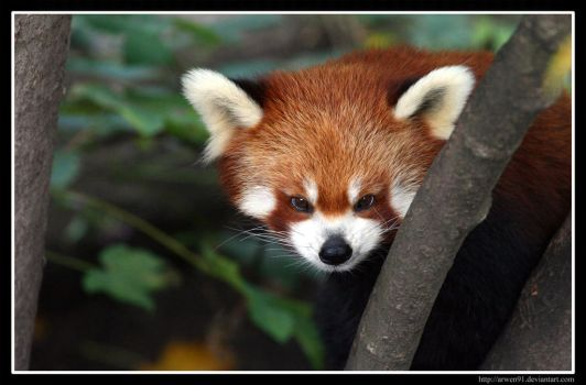 Red Panda Portrait by Arwen91