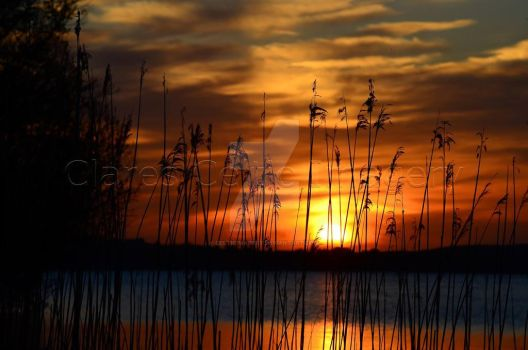 reeds in the sunset, Lough Sheelin, Co. Cavan by celticimagery