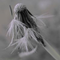 Dandelion by Cattereia