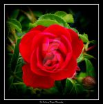 THE ROSE (DSCF3871 #1a) by Chattering-Magpie