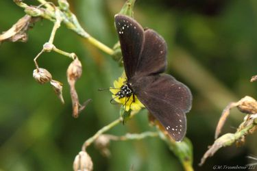 Common Sootywing Skipper Butterfly by natureguy