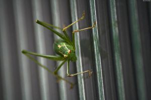 grasshopper on glass by goofyinc