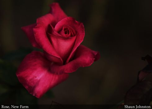 Red Rose by shaun-johnston