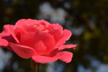 Rose // Flowers by AlleePhotography