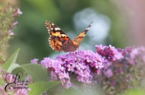 Painted Lady by PassionAndTheCamera