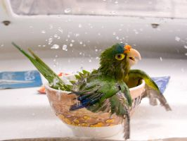 Parrot taking a bath by hipermoderno