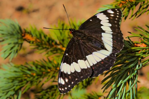 Black Butterfly by fredfirth
