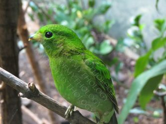Female Lesser Green Broadbill LPZ 3 by loverofmythology