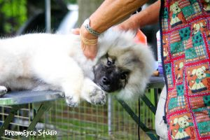 Grooming time Keeshond puppy by DreamEyce