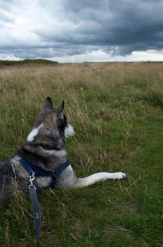 Wolf on the Moorland by MoshCow