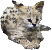 fluffy serval by Twins72-Stocks