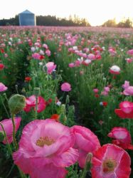 Field of Poppies by andromeda