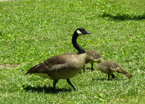 goose family by turtledove-stock