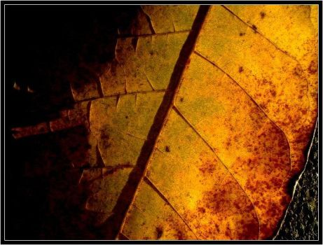 Leaf of Gold by overfire