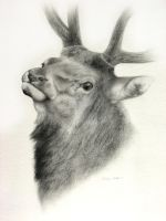 Elk - Head Study by ShaleseSands