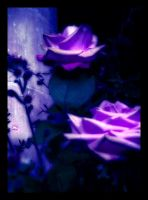 Lilac Roses by Forestina-Fotos