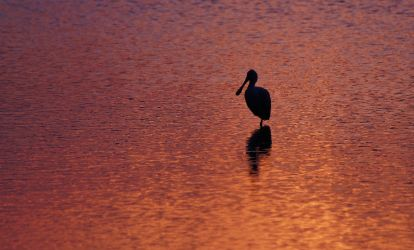 Solitary Spoonbill at Sunset ~ MNWR ~ Sony A580 by AdARDurden