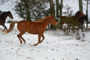 Quarab canter in snow by CaballineCreations