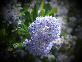 Ceanothus in Heather's Garden by AstarothSquirrel