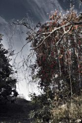 Mountain ash by dhym0n