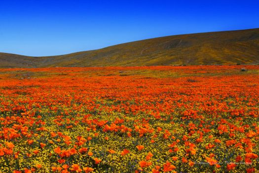 Poppies by Phoenix-Imagery
