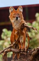 The Beautiful Dhole II by PictureByPali