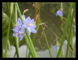 Blue flowers from the pond by joywalker