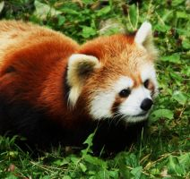 Red Panda 002 by RedPangolin