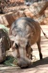 When he was a young warthog by oddjester