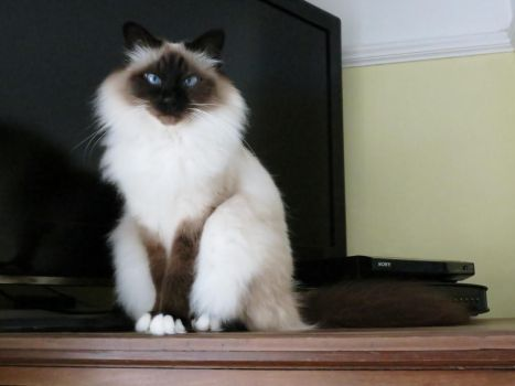 Bronte my Birman by vanillacrunch345