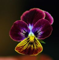 Yellow and Purple Pansy by photoquilter