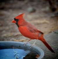 October Cardinal by Tailgun2009