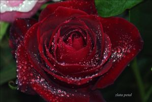 my rose by Zlata-Petal