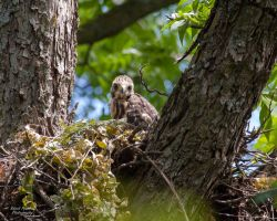 Red Shouldered Hawk Nest 2 by EdgedFeather