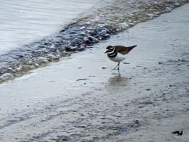Sea Killdeer by wolfwings1