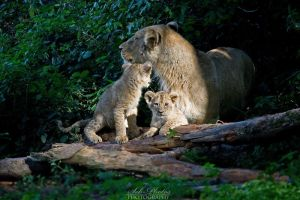 A lion family by Seb-Photos