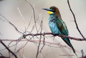 Bee-eater by WildGepard