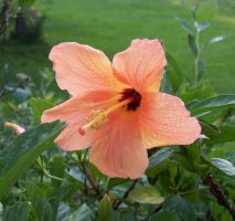 Hibiscus by Luprand