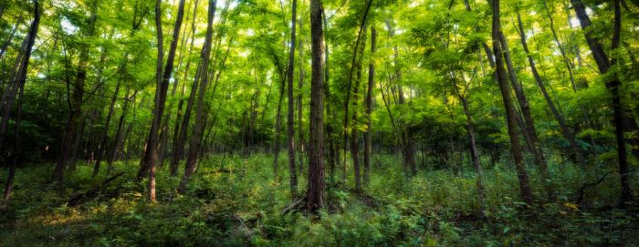 Forest Panorama by MoonKey19